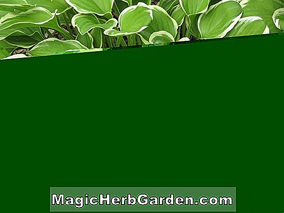 Hosta (Blue Ice Hosta)