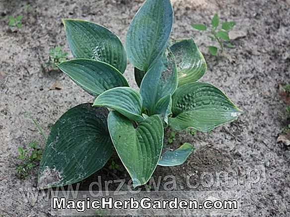 Hosta (Blue Shadows Hosta)