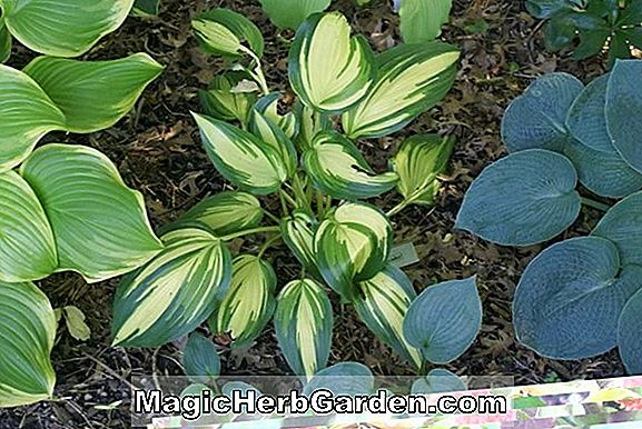 Hosta (Crepe Suzette Plantain lily)