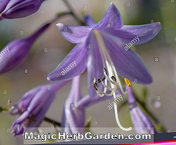 Hosta (Sweetie Plantain Lily)