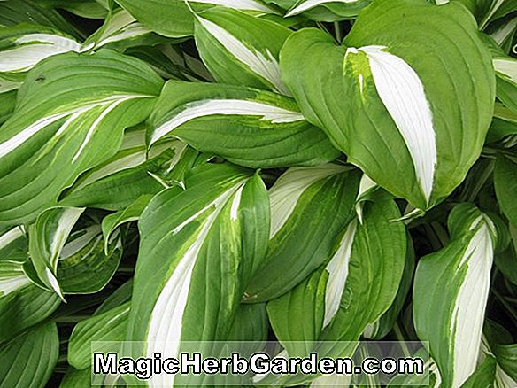 Hosta (Evelyn McCafferty Wegerich Lilie)