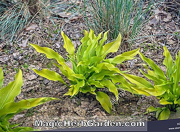 Planter: Hosta (Flower Power Plantain Lily)
