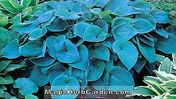 Hosta (Blue Angel Hosta)