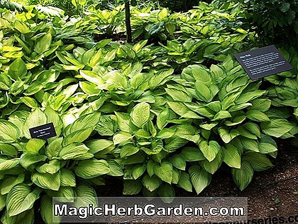 Tumbuhan: Hosta (Gold Regal Hosta)