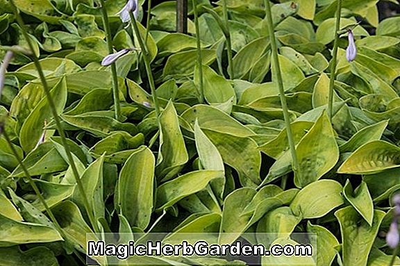 Hosta (Gold Edger Plantain Lily)