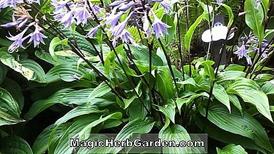 Hosta (Invincible Hosta)