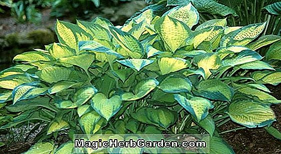 Hosta (Little Blue Plantain Lily)
