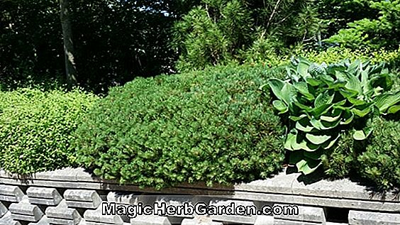 Planter: Hosta (Marilyn Plantain Lily)