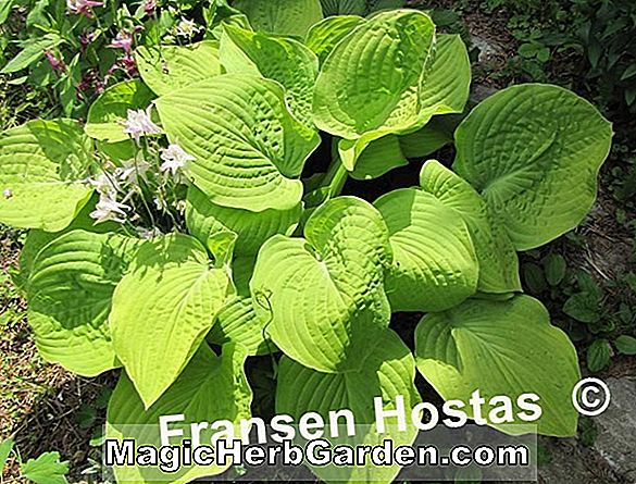 Hosta (Moon Glow Plantain Lily)