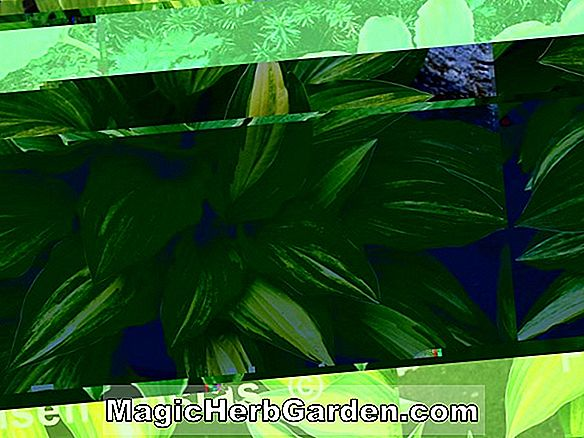 Hosta (Neat Splash Rim Hosta)