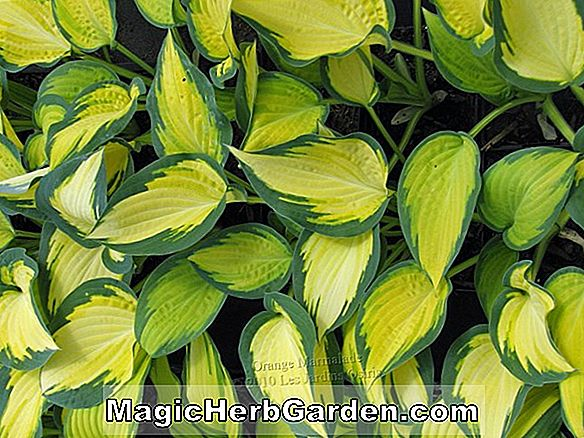 Hosta (North Hills Plantain Lily)