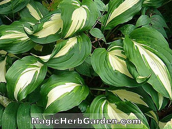 Planter: Hosta (Northern Halo Plantain Lily)