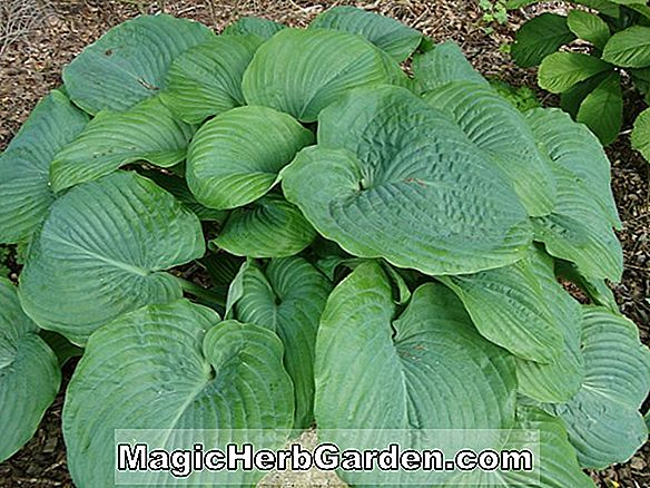 Hosta (Birchwood Parky's Gold Hosta)