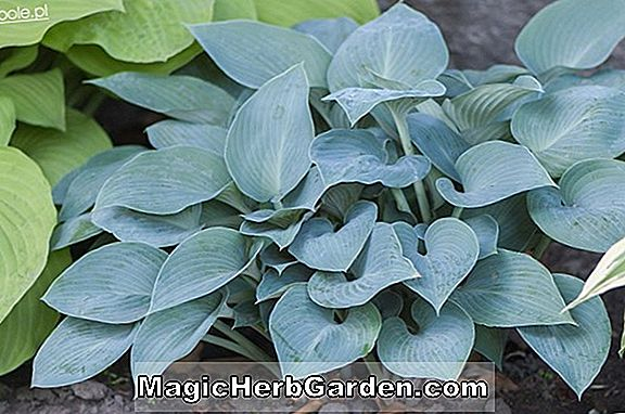 Hosta (Paul's Glory Hosta)