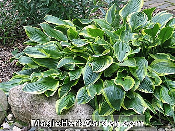 Hosta (Pacific Blue Edger Plantain Lily)