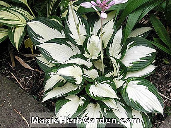 Hosta (Patriot Hosta)