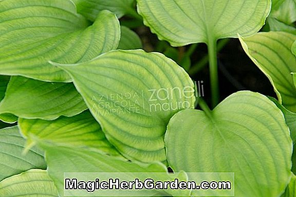 Hosta (Pearl Lake Plantain Lily)