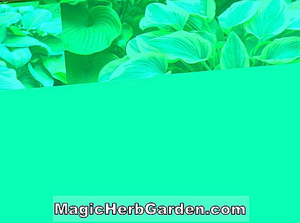 Hosta (Queen Josephine Plantain Lily)