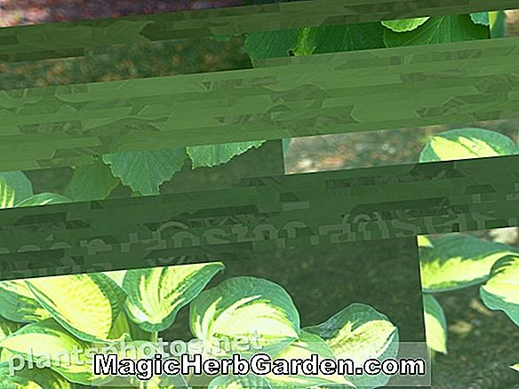 Planter: Hosta (Royal Standard Hosta)
