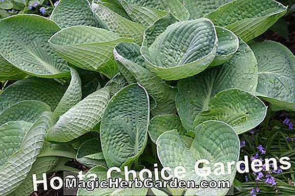 Hosta (Sea Lotus Leaf Plantain Lily)