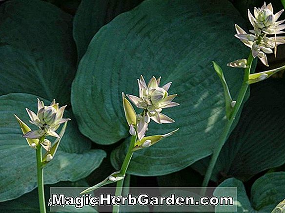 Hosta (Se Saw Plantain Lily)