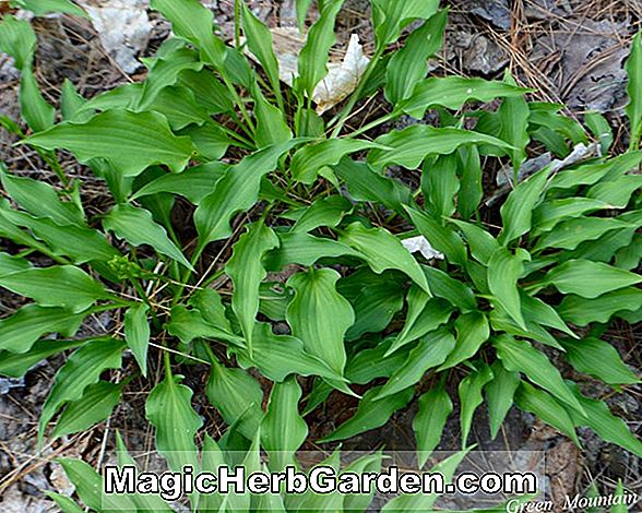 Hosta (Blue Blush Hosta)