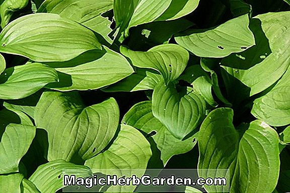 Növények: Hosta (Ryan Big One Hosta)