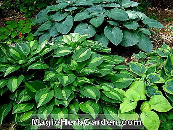 Hosta (Striptease Hosta)