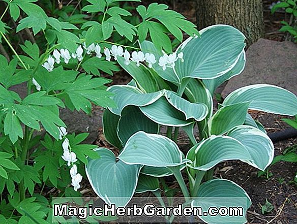 Hosta (Sum og Substance Hosta)