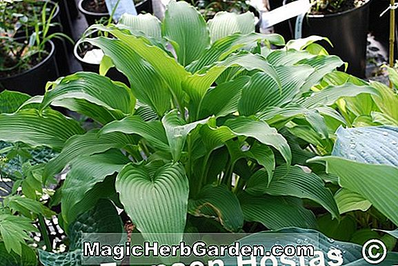 Hosta kikutii (Shelleys Plantain lily)