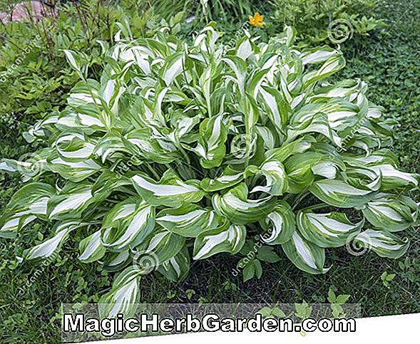 Hosta minor (Plantain lily)