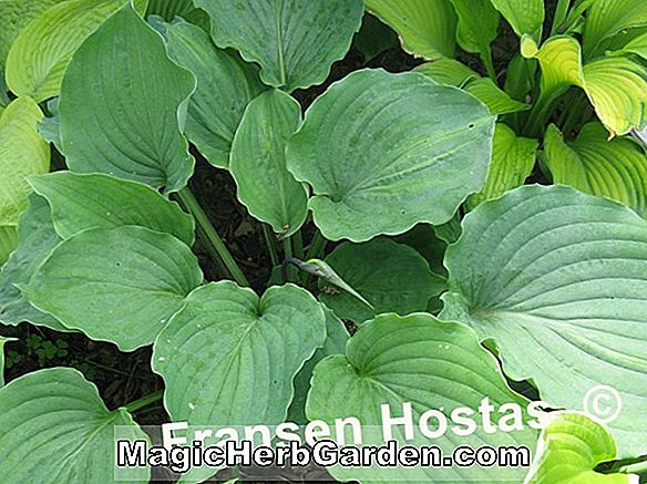 Hosta (Donahue Piecrust Hosta)