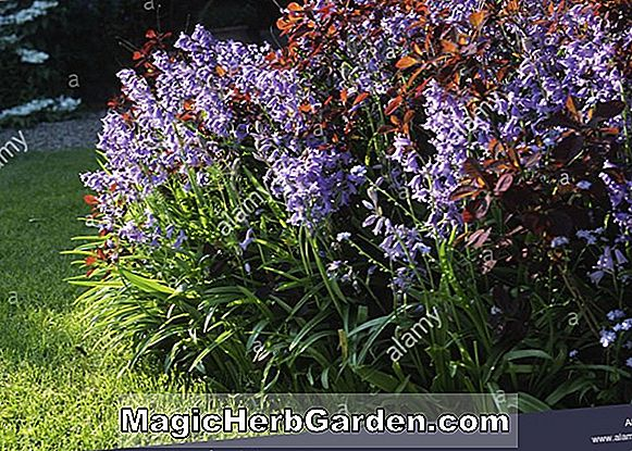 Planter: Hyacinthoides hispanica (Spanish Bluebell)