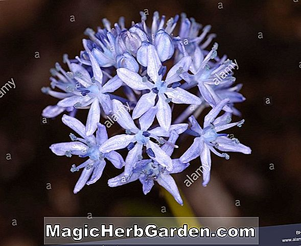 Hyacinthoides italica (Bluebell)