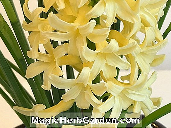 Planter: Hyacinthus orientalis (Yellow Hammer Dutch Hyacinth)