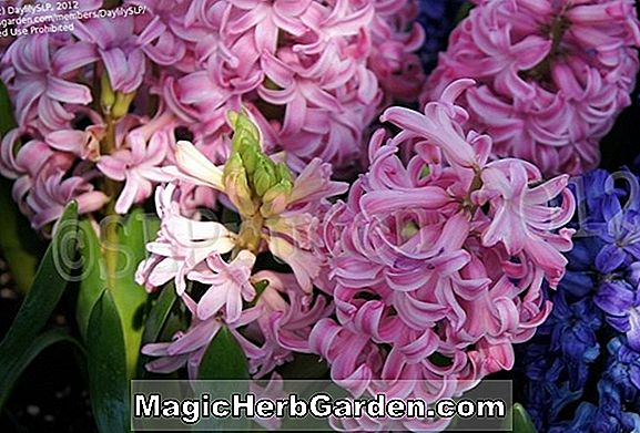 Planter: Hyacinthus orientalis (Gipsy Queen Dutch Hyacinth)