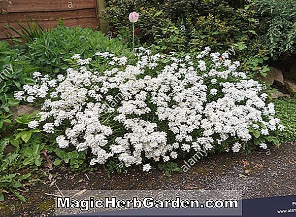 Iberis sempervirens (Purity Candytuft)