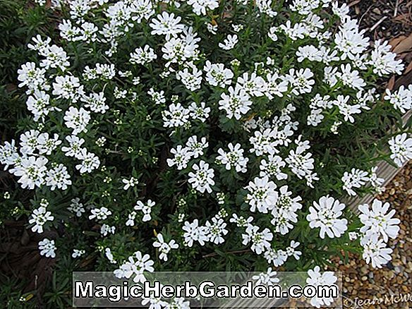 Iberis sempervirens (Little Gem Candytuft)