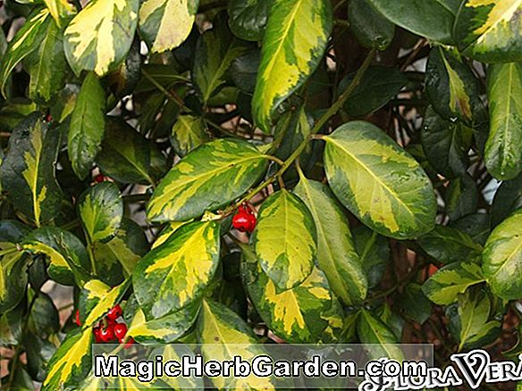 Ilex altaclarensis (Golden King Holly)