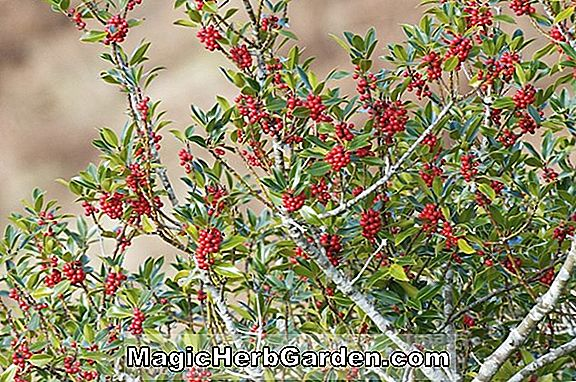 Ilex aquifolium (Goldene Königin Holly) - #2