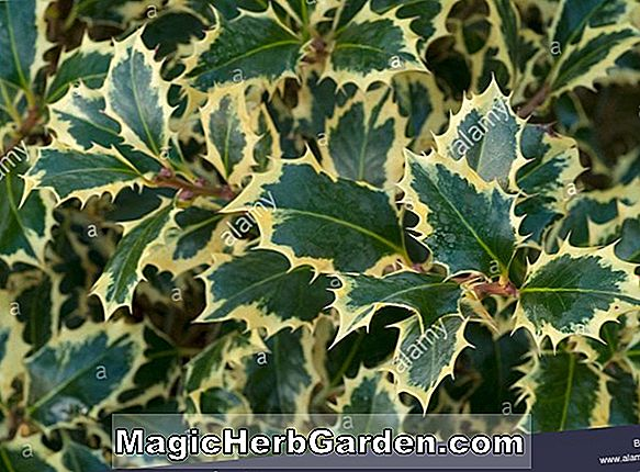 Ilex aquifolium (Pyramidalis English Holly)