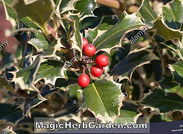 Ilex aquifolium (Silver King English Holly) - #2