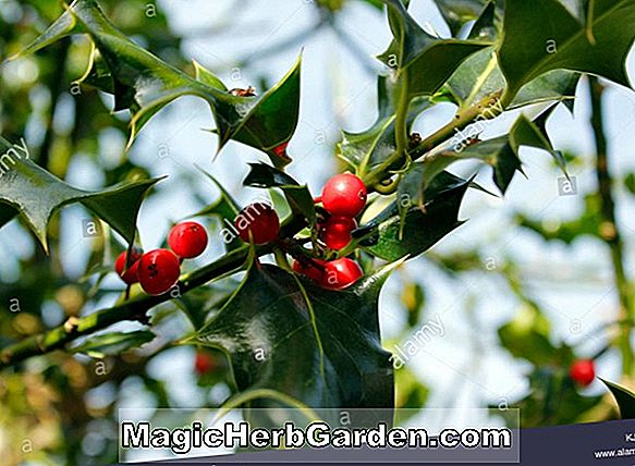 Ilex aquifolium (Zero English Holly)