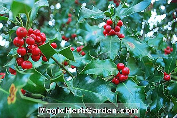 Ilex aquifolium (Golden Queen English Holly)