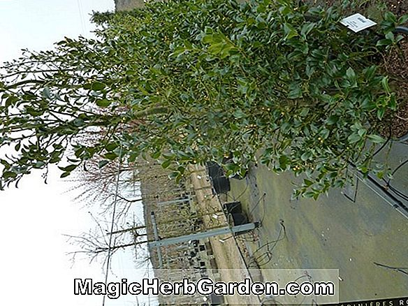 Ilex aquifolium (Golden van Tol English Holly) - #2