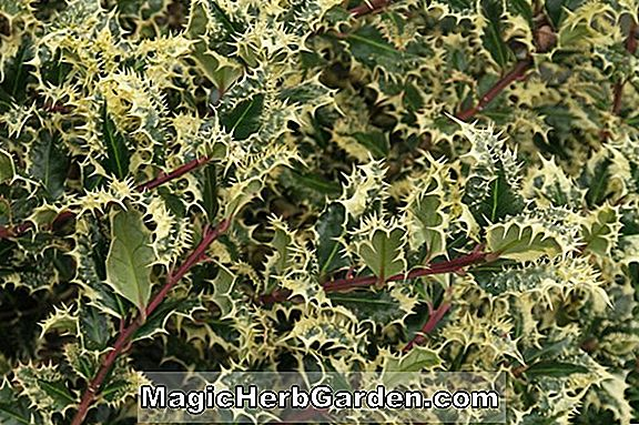 Ilex aquifolium (Yellow Beam English Holly)