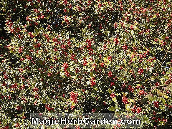 Ilex aquifolium (Cover Girl English Holly)