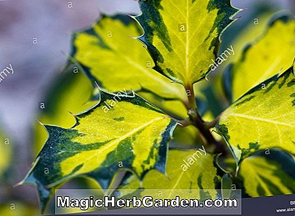 Ilex aquifolium (Golden Milkboy English Holly)