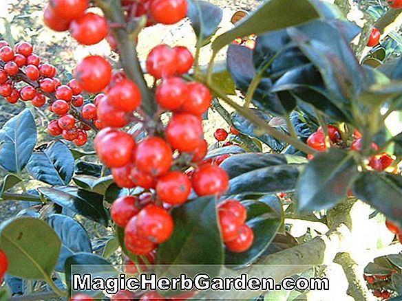 Ilex aquifolium (J.C. van Tol English Holly) - #2