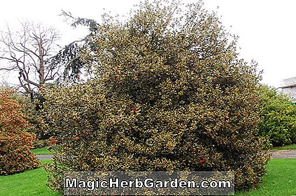 Ilex aquifolium (Amber English Holly)